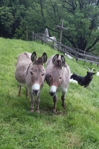 Esel-Flicka-und-Mara