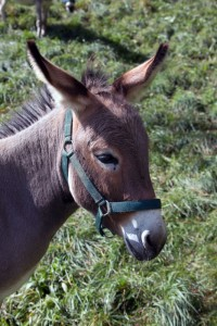 Esel-Mara